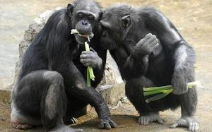 chimp_food_1380265c